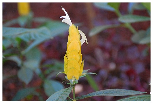 Yellow flowers, Goiania, Brazil