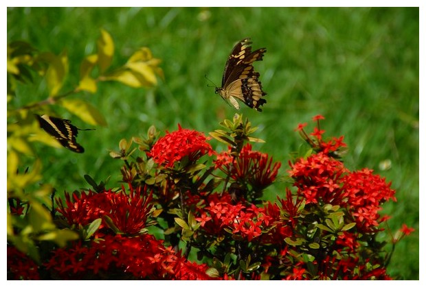 Butterflies Papilio paeon, Brazil, South America