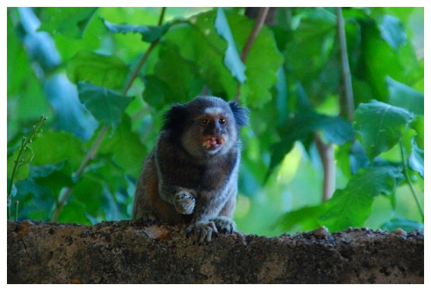 Mico Estrella - small monkey from central-north Brazil