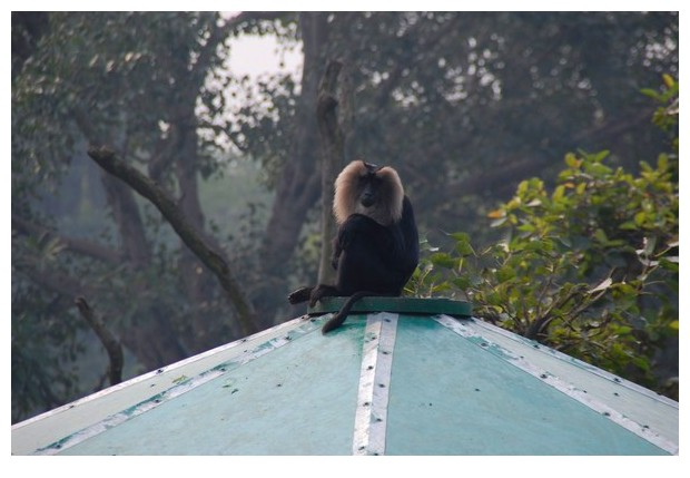 Lion tailed macaque from Delhi zoo