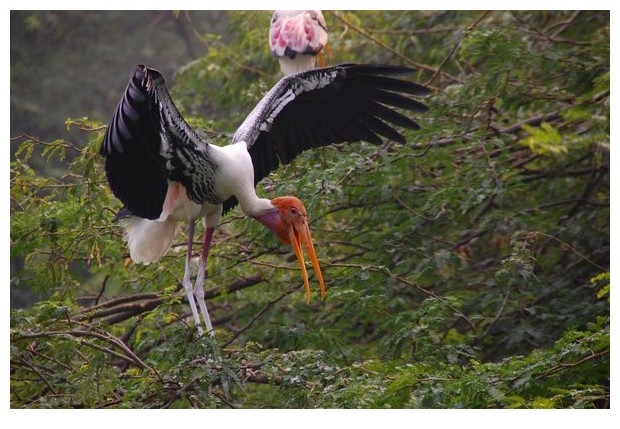 Painted storks in Delhi zoo, India