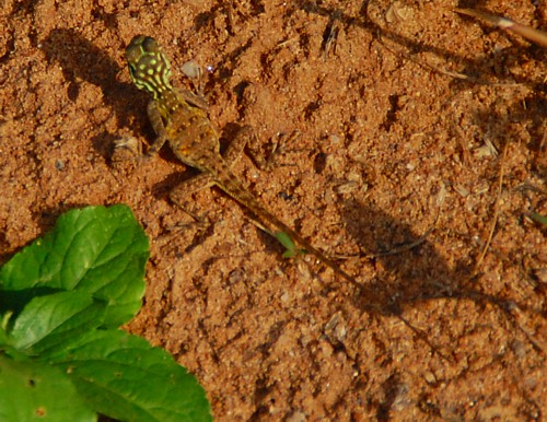 Lizard, Abuja Nigeria