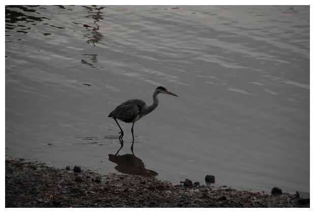 Grey heron, thames, London