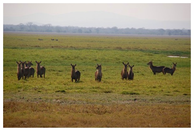 Antelopes in Gorongoza national park, Mozambique