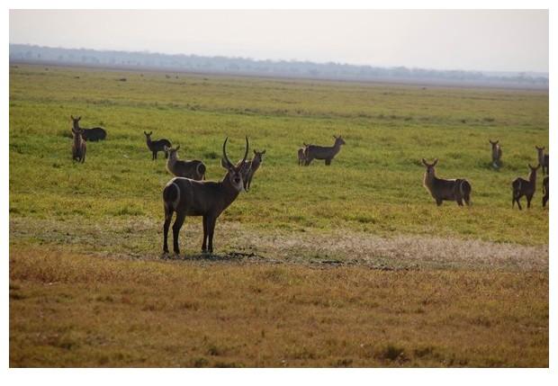 Antelopes in Gorongoza national park, Mozambique