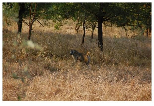 Yellow baboons, Gorongoza national park, Mozmabique