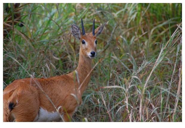 Impala deer, Gorongoza national park, Mozambique