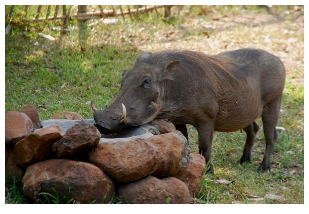 female wild pig, Gorongoza wild life park, Sofala, Mozambique