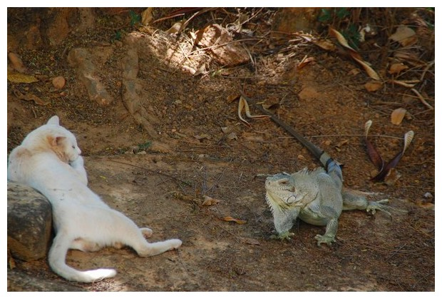 Iguana & a cat, Porto Naçional, Tocantins, Brazil, image by Sunil Deepak