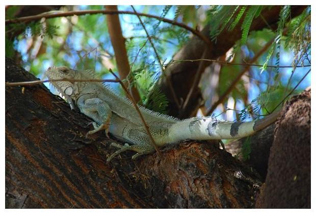 Iguana, Porto Naçional, Tocantins, Brazil, image by Sunil Deepak