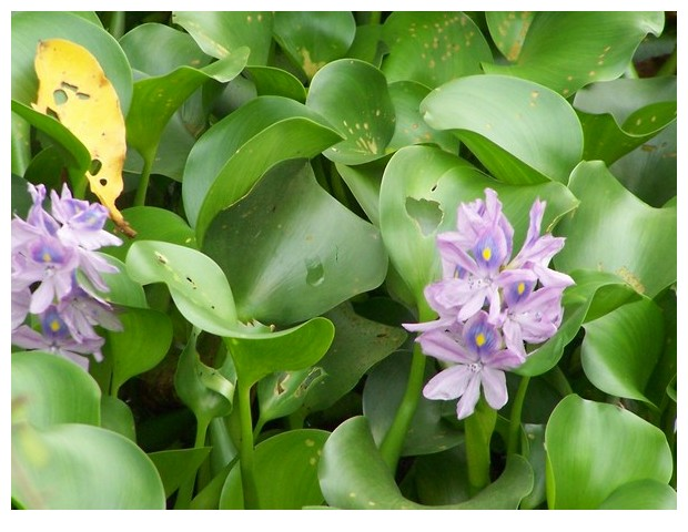 Water hyacinth in Hue, Vietnam