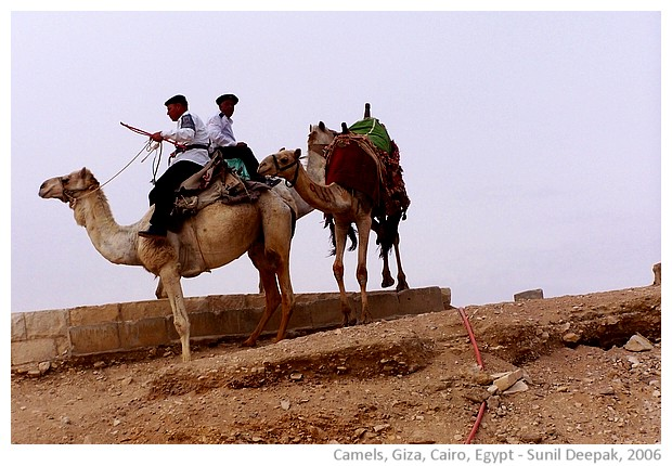 Camels near the pyramids of Giza, Cairo, Egypt - images by Sunil Deepak, 2006