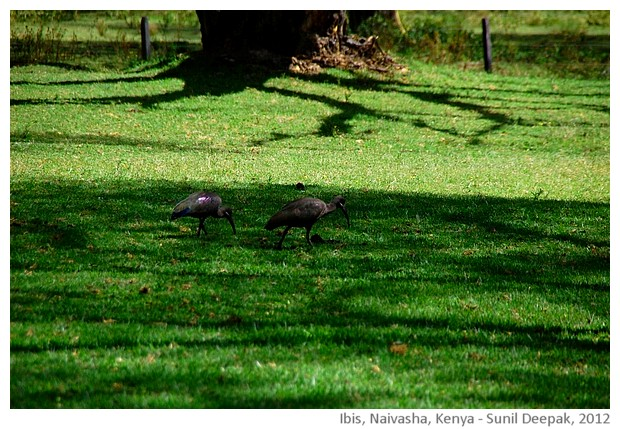 Ibis, Naivasha, Kenya - images by Sunil Deepak, 2013