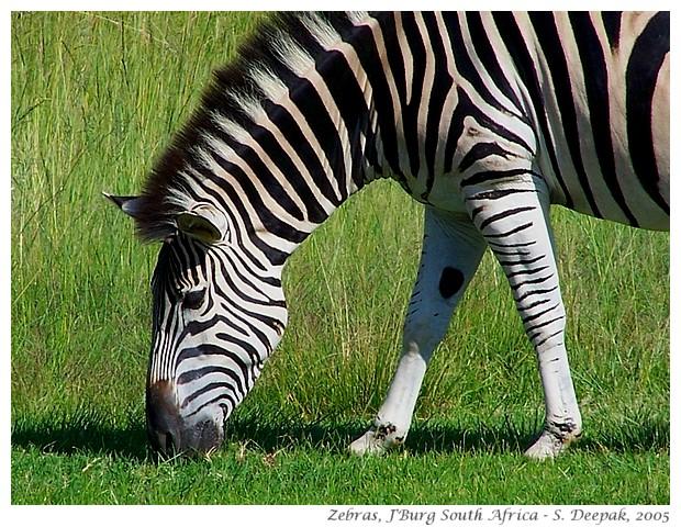 Zebras, Johannesburg, South Africa - S. Deepak, 2005