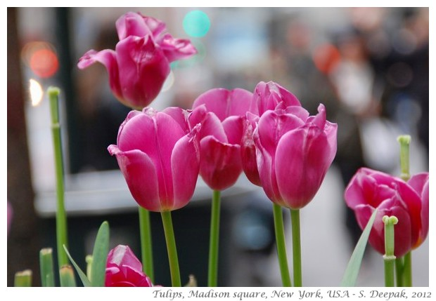 Pink tulips, New York, USA - S. Deepak, 2012