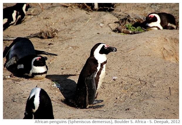 African penguins Spheniscus Demersus, Boulder South Africa - S. Deepak, 2012