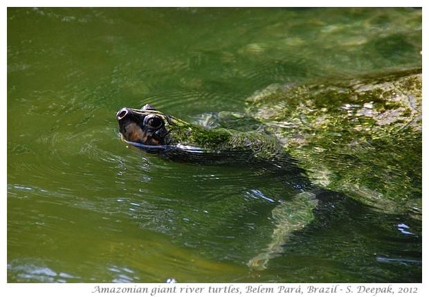 Amazonian giant river turtles, Parà Brazil - S. Deepak, 2012