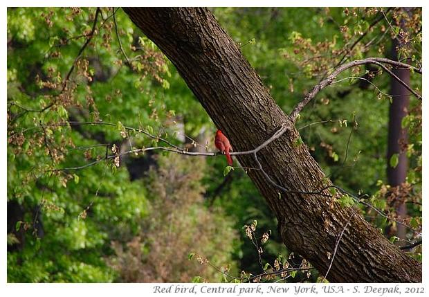 Red bird, central park NY - S. Deepak, 2012