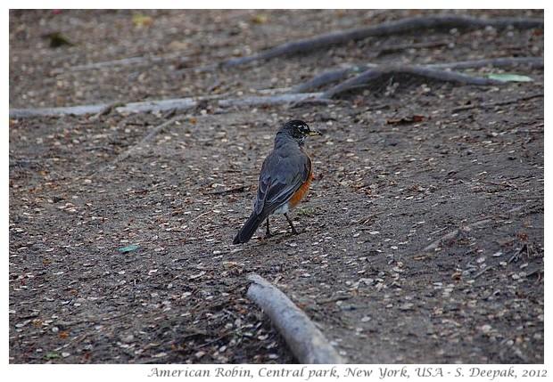 American Robin, central park NY - S. Deepak, 2012