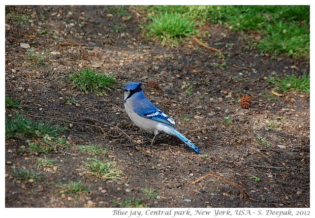 Blue Jay, central park NY - S. Deepak, 2012
