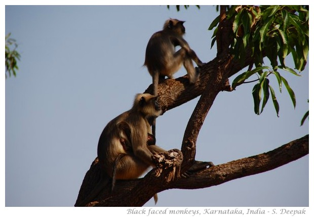 Black faced monkeys, Karnataka, INdia - Images by S. Deepak