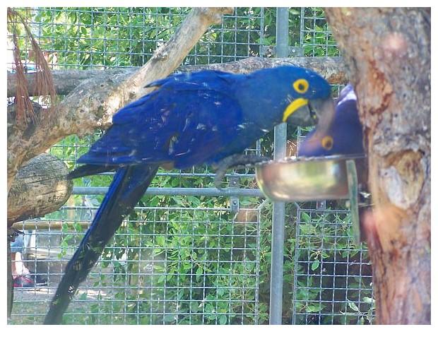 Blue coloured birds - parrots