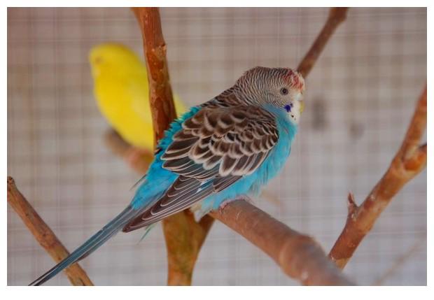Blue coloured birds - parakeets