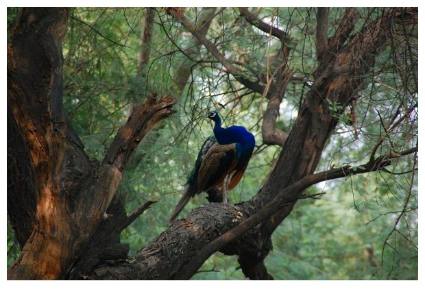 Blue coloured birds - peacock