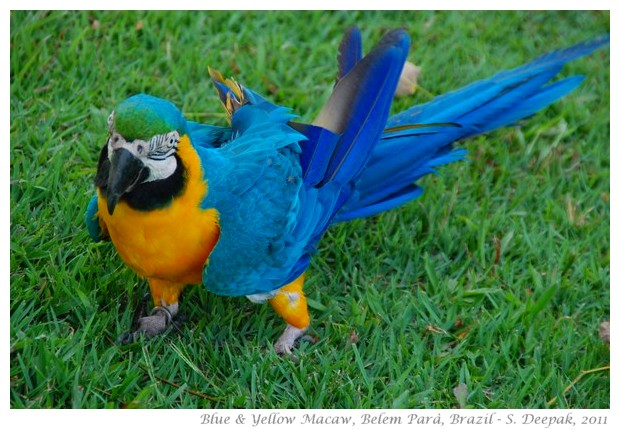 Blue and yellow macaw, Para Brazil - S. Deepak, 2011