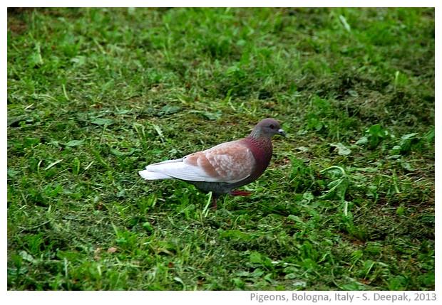 Pigeons, Bologna, Italy - S. Deepak, 2013