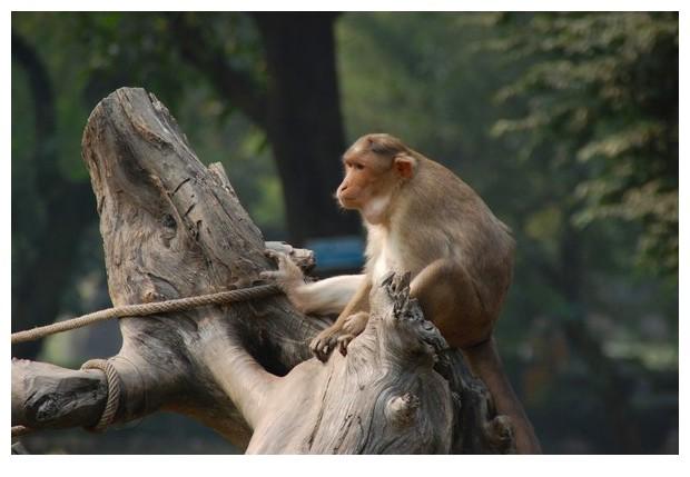 Bonnet Macaque monkey in Delhi zoo, India