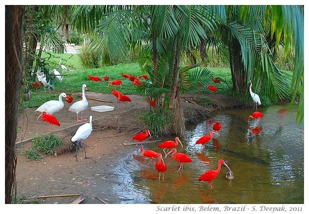 Scarlet ibis, Belem, Brazil - S. Deepak, 2011