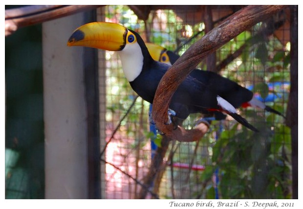 Tucano birds in Goias Velho, Brazil - images by S. Deepak