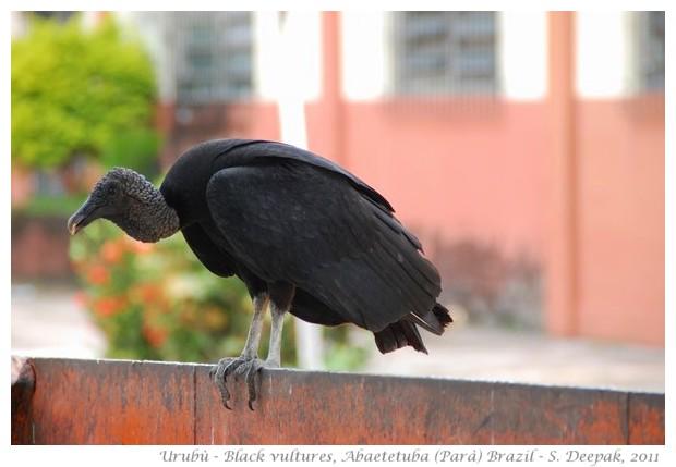 Uburù, black Brazilian vultures, Parà state Brazil - images by S. Deepak
