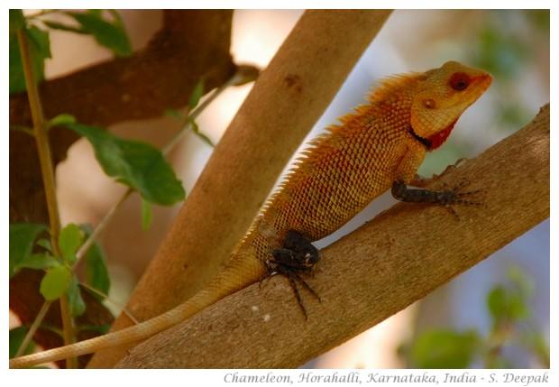 Chameleon, Horahalli, Karnataka, India, image by S. Deepak