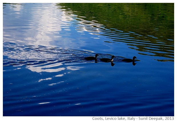 Coots, water birds, Levico lake, Italy - images by Sunil Deepak, 2013
