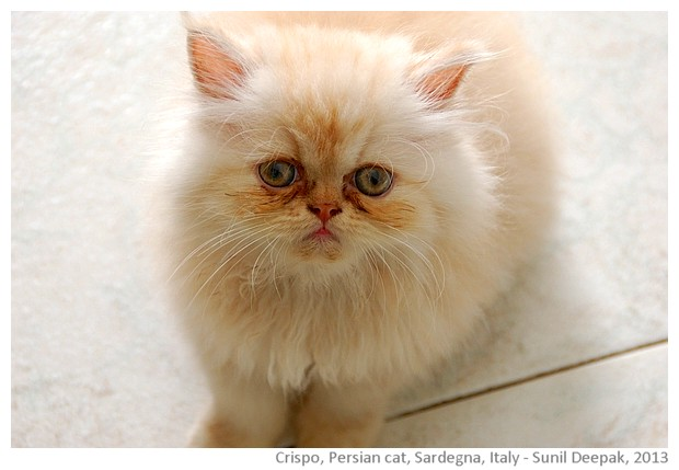 A white Persian baby cat, Sardinia, Italy - images by Sunil Deepak, 2013