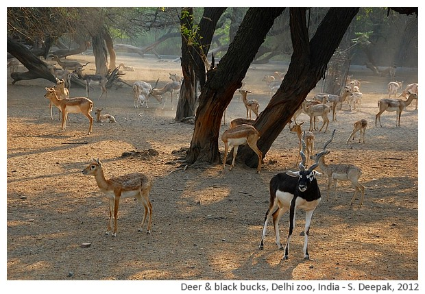 Deer & black bucks, Delhi Zoo, India - S. Deepak, 2012