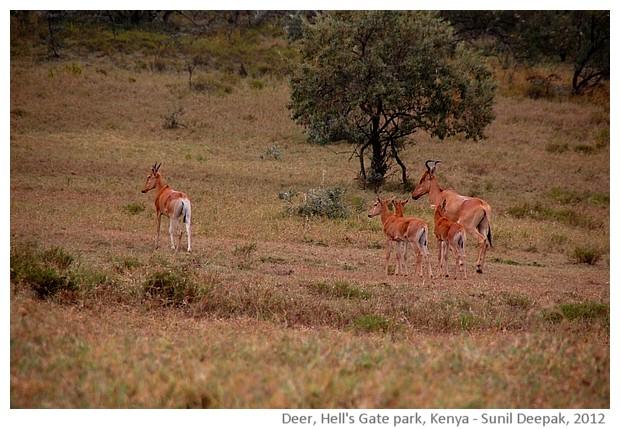 Deer, Hell's gate natural park, Kenya - images by Sunil Deepak, 2012