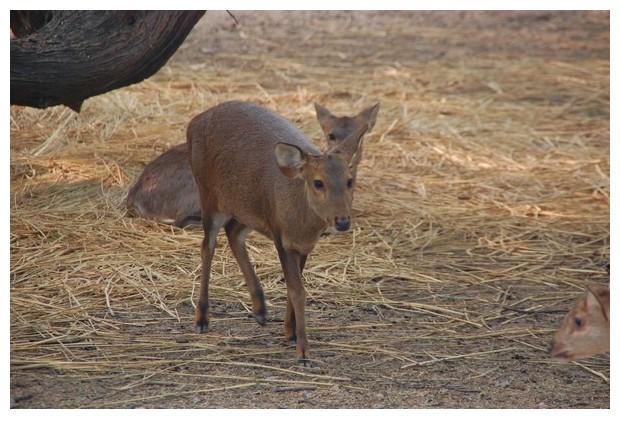 Hog deer in Delhi zoo, India