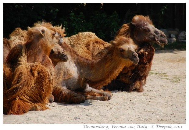 Dromedary, Verona zoo Italy - images by S. Deepak