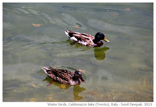 Water birds, Caldonazzo lake, Trento, Italy - images by Sunil Deepak, 2013