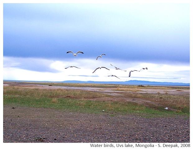 Water birds, Vus lake, Mongolia - S. Deepak, 2008