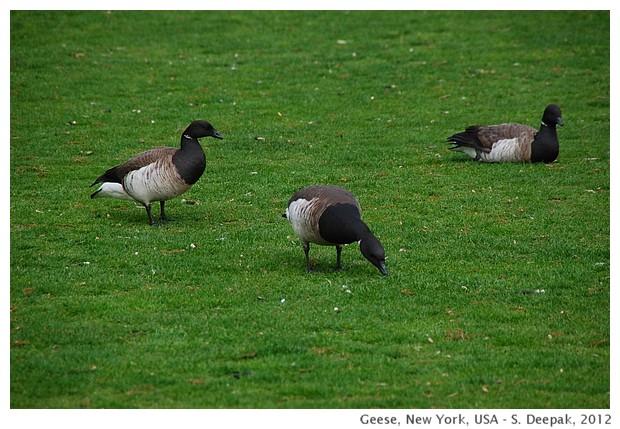 Geese in New York - S. Deepak, 2012