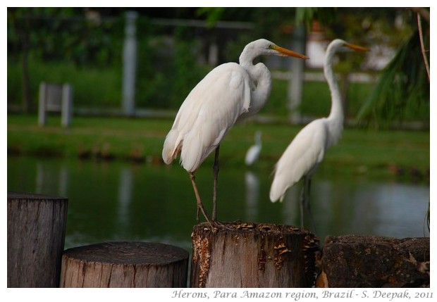 Herons in Para, amazon region, Brazil - S. Deepak, 2011