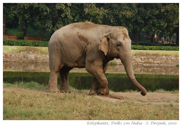 Elephants, Delhi zoo, India - images by S. Deepak