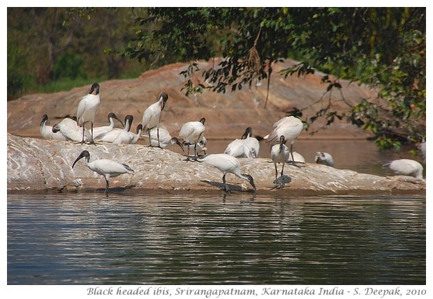 Black headed ibis, Karnataka, India - S. Deepak, 2010