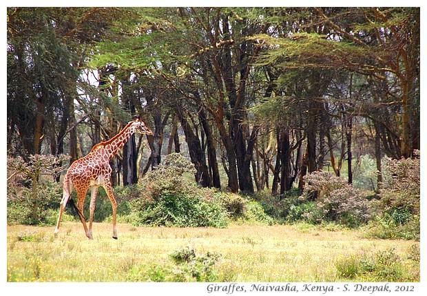 Giraffes, Kenya - S. Deepak, 2012