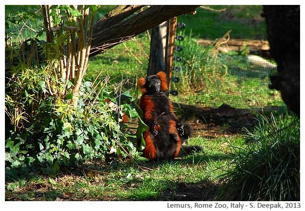 Lemurs, Rome zoo, Italy - S. Deepak, 2013