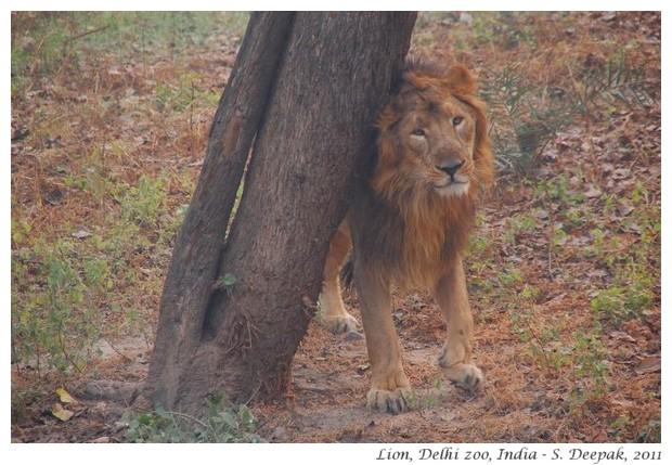 Lion, Delhi zoo, India - S. Deepak, 2011